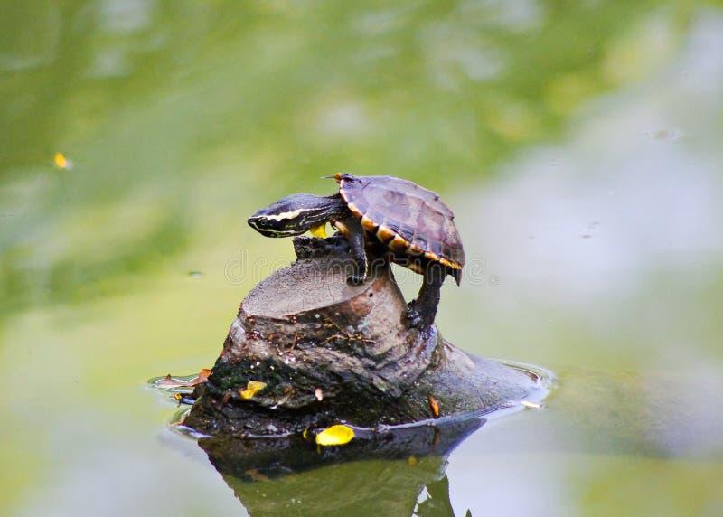 Черепаха на журнале стоковые фотографии rf
