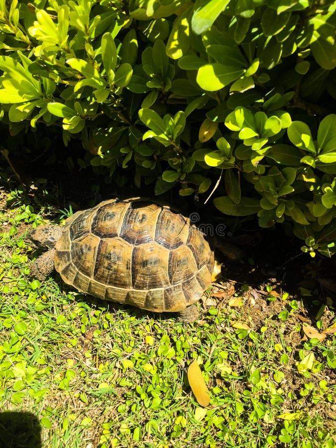 Черепаха на зеленом цвете стоковые фото