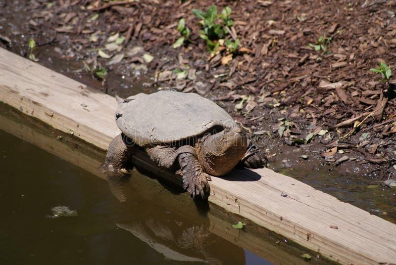 Черепаха на крае стоковые изображения rf