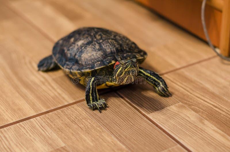 Черепаха на поле дома стоковая фотография