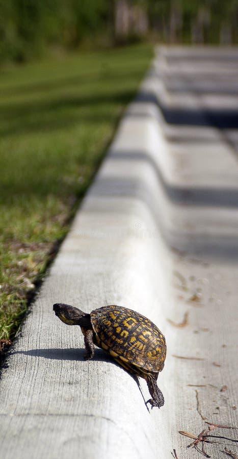 черепаха обочины обочины стоковая фотография rf
