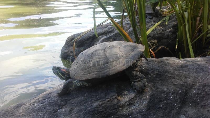 Черепаха около пруда черепахи в лете в Central Park стоковое изображение