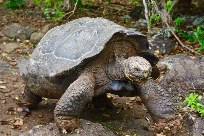 черепаха островов эквадора galapagos гигантская стоковые изображения rf