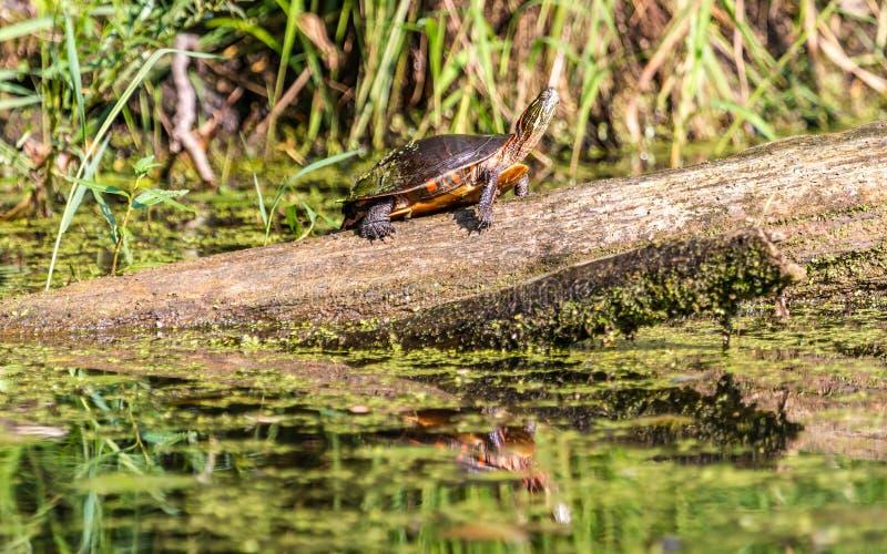 Черепаха покрашенная Midland стоковое изображение