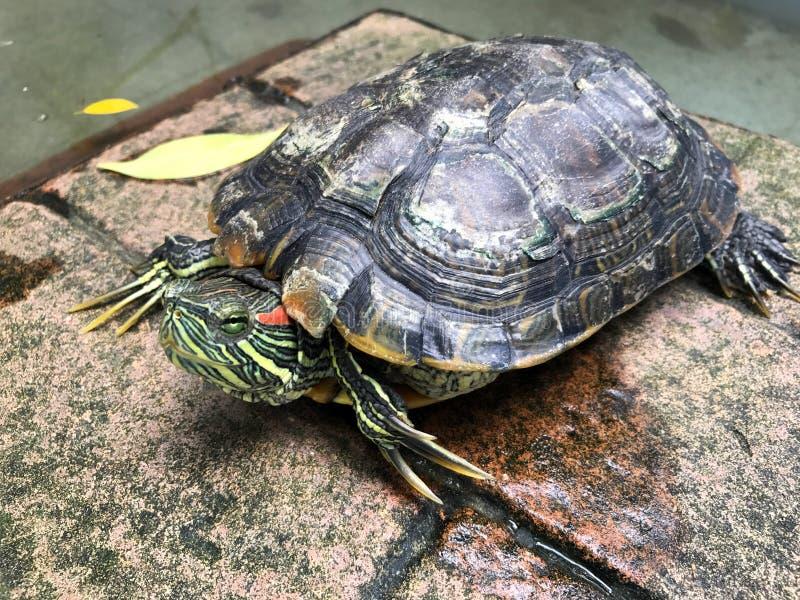 Черепаха, пресноводная черепаха, красивая черепаха стоковая фотография