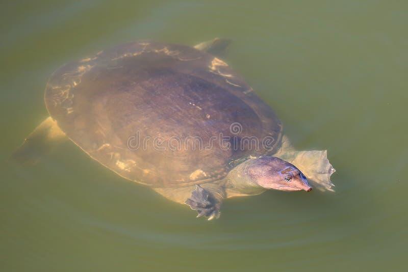 черепаха раковины мягкая стоковая фотография rf