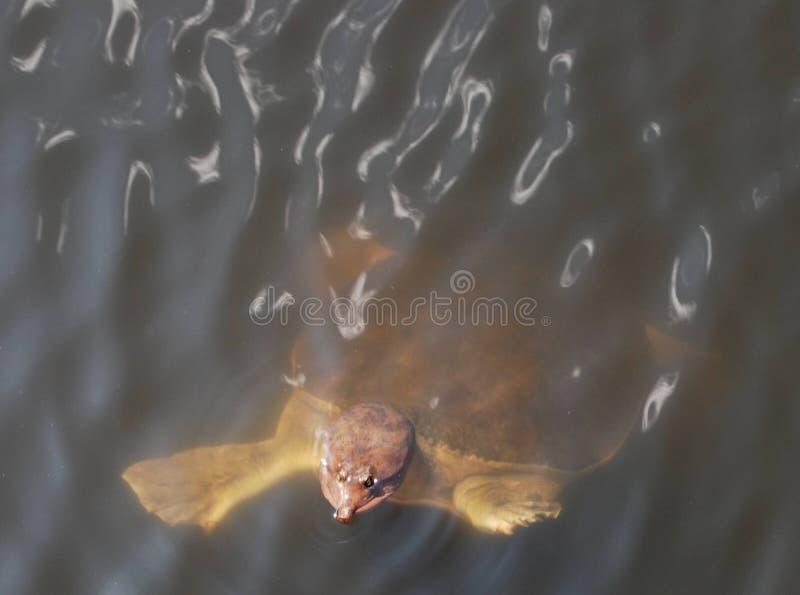 черепаха раковины florida болотистых низменностей мягкая стоковое изображение rf