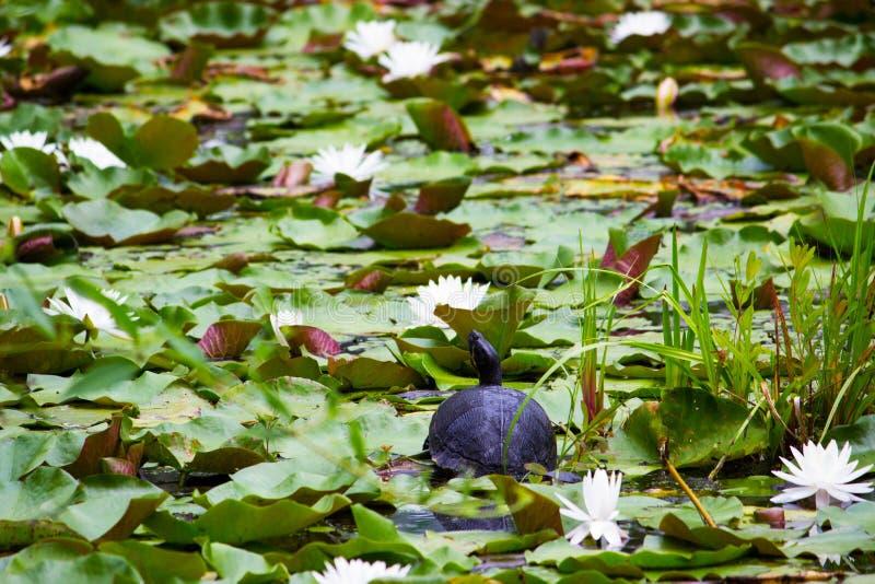 Черепаха сидя на lilypad стоковое фото rf