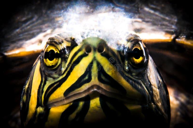 Черепаха слайдера пруда смотря через стекло аквариума стоковое изображение
