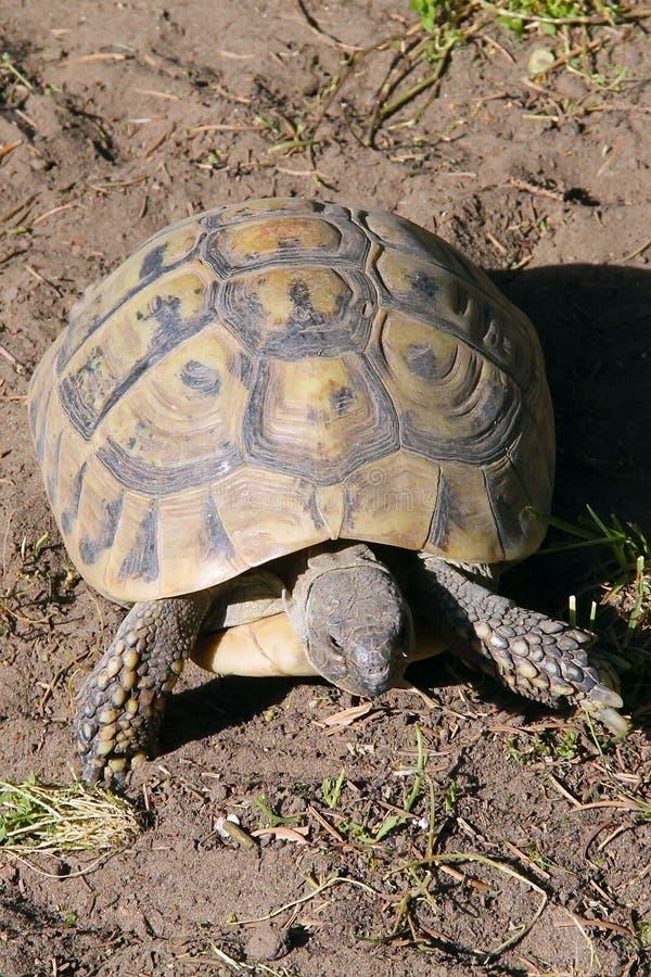 Черепаха Хермана стоковое фото