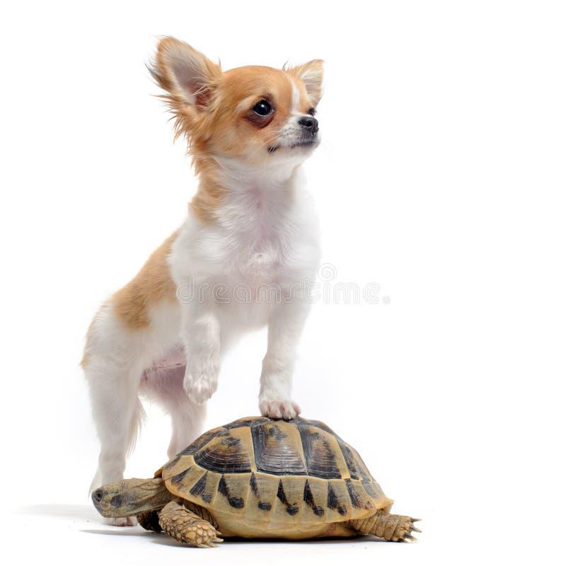 черепаха щенка чихуахуа стоковое фото rf