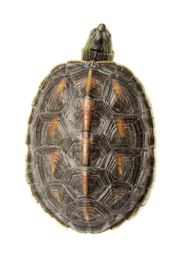 Черепаха стоковая фотография