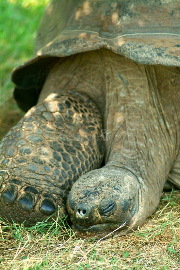 черепаха aldabra гигантская стоковая фотография