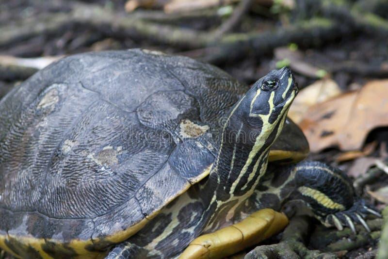 Черепаха Cooter Флориды (floridana concinna Pseudemys) стоковые фото