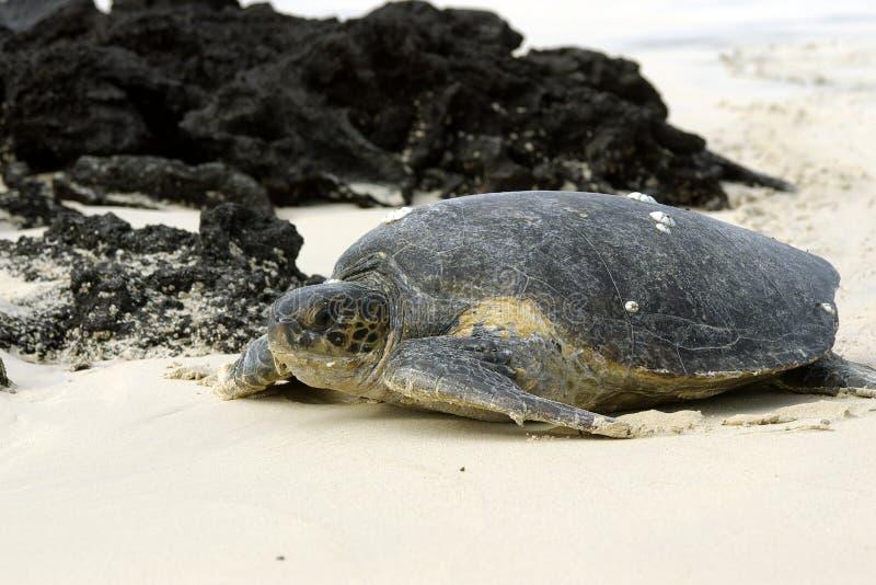черепаха galapagos зеленая стоковые фото