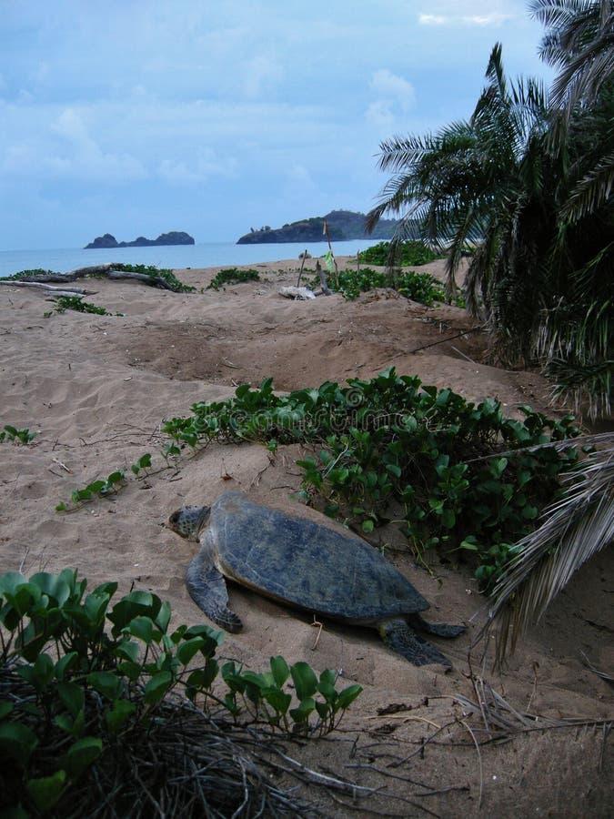 Черепаха Hawksbill на женщине пляжа кладя яйцо стоковые фотографии rf