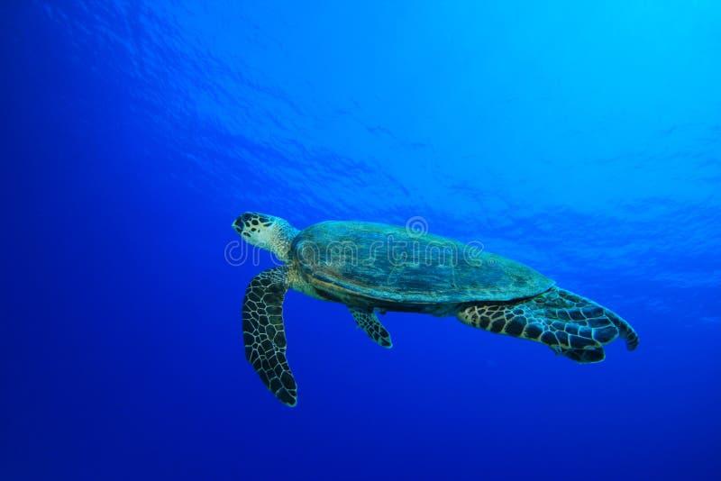 черепаха hawksbill стоковая фотография