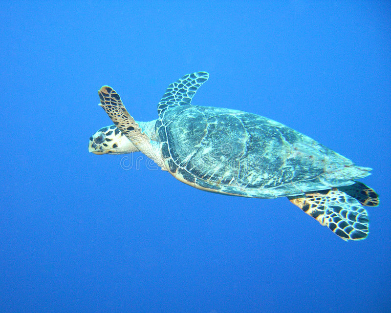 черепаха hawksbill стоковое фото