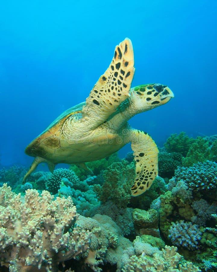 черепаха hawksbill стоковая фотография rf