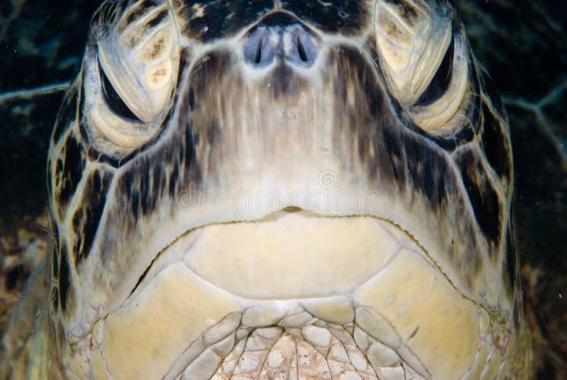 черепаха mydas chelonia зеленая мыжская стоковые изображения rf