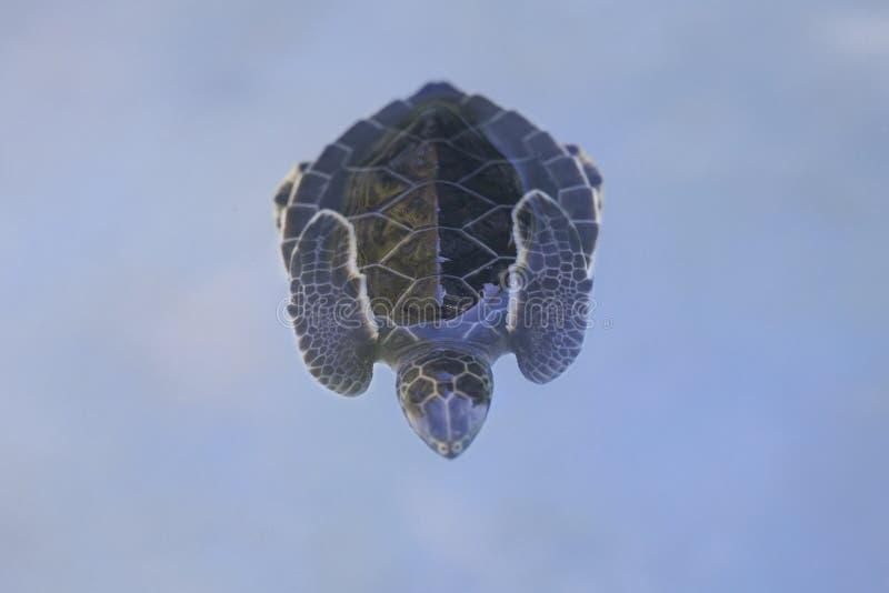 черепаха mydas marsa Египета chelonia bareika зеленым принятая морем стоковое изображение rf