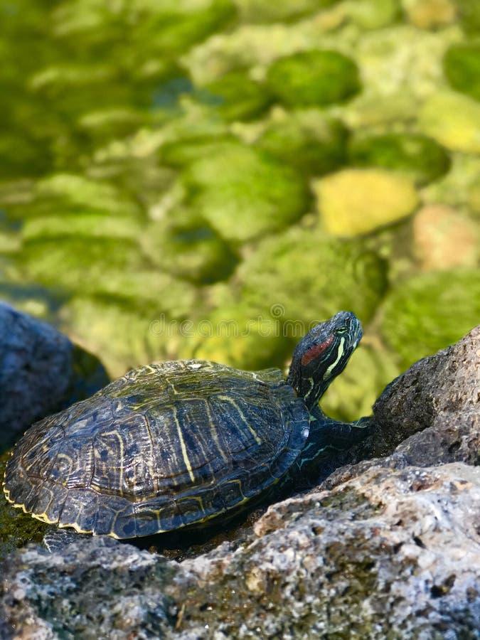 Черепаха sunbathing на утесе стоковое изображение