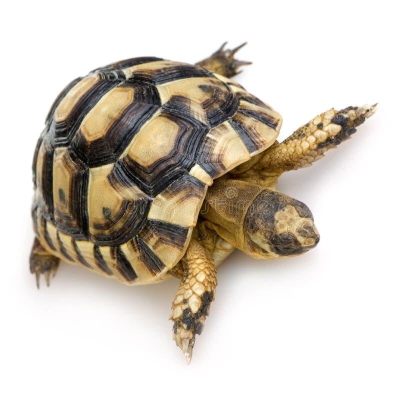 черепаха testudo hermanni s herman стоковое фото rf