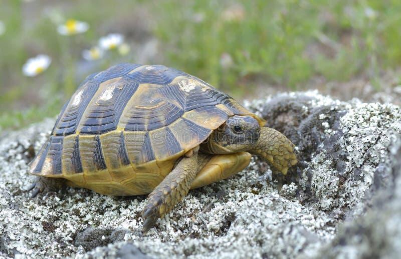 Черепаха thighed шпорой (graeca Testudo) стоковая фотография rf