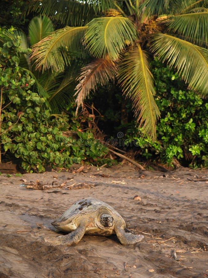 черепаха tortuguero моря rica национального парка Косты стоковое изображение rf