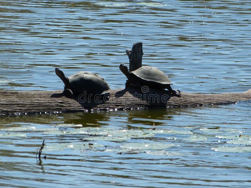 Черепахи водяной черепахи сидя на ветви в Солнце стоковое изображение