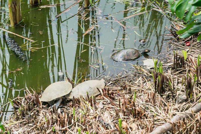 Черепахи в их среде обитания стоковые фото
