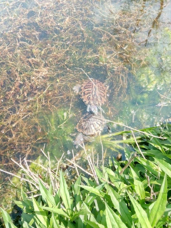 Черепахи в небольшом озере центрального парка стоковые фото