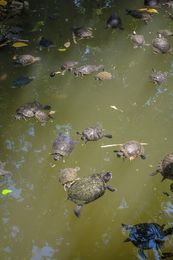 Черепахи в озере стоковые фото