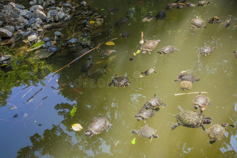 Черепахи в озере стоковые фотографии rf