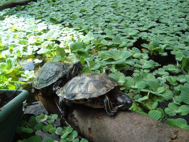 Черепахи в приложении на стоковое фото