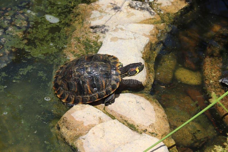 Черепахи в природе стоковая фотография rf