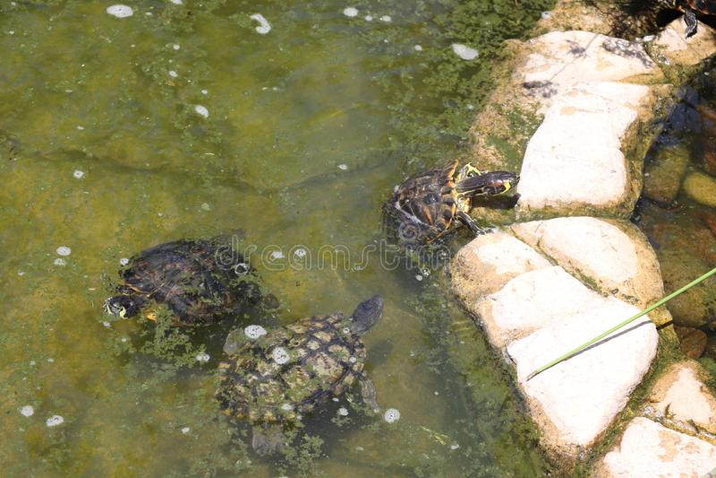 Черепахи в природе стоковое фото