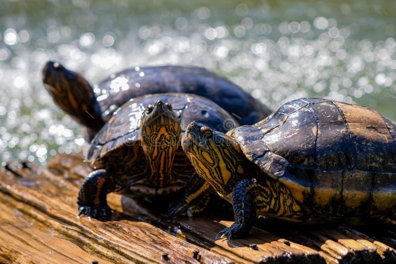 Черепахи в солнце на озере ботанического сада в Рио-де-Жанейро Бразилии стоковые фотографии rf