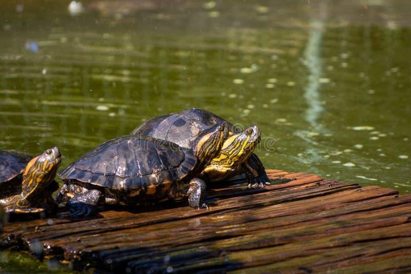 Черепахи в солнце на озере ботанического сада в Рио-де-Жанейро Бразилии стоковое фото
