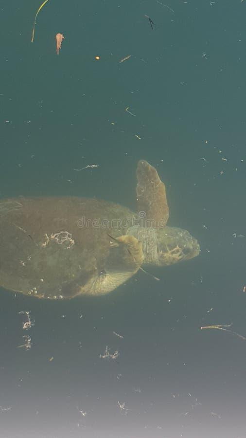 черепахи в kefalonia в море стоковое изображение rf