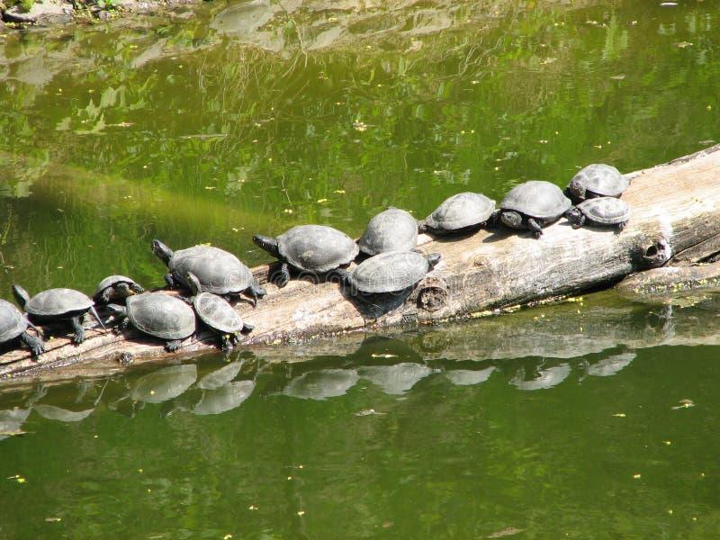 Черепахи грея на солнце фото стоковое изображение