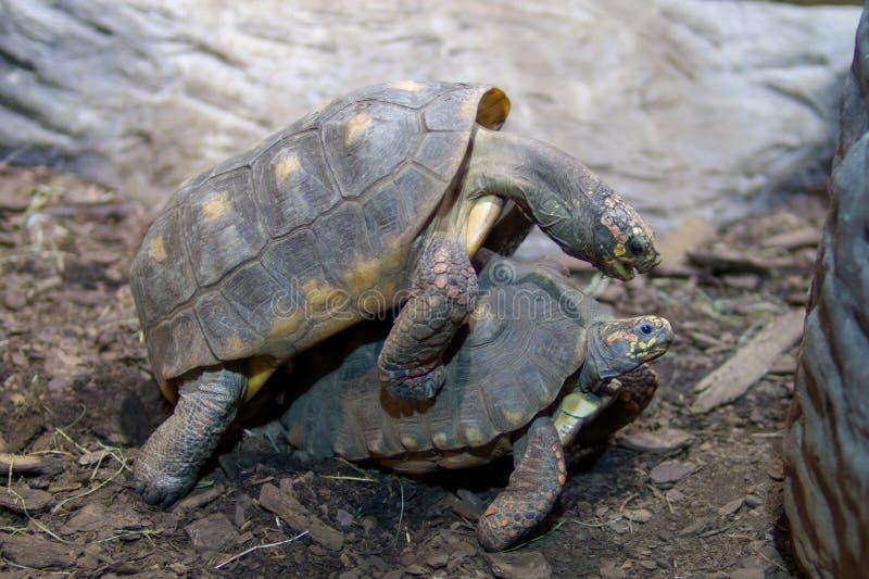 2 черепахи делая страстную любовь стоковое изображение
