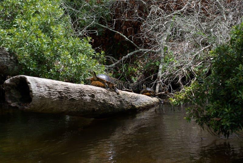 черепахи журнала стоковые изображения rf