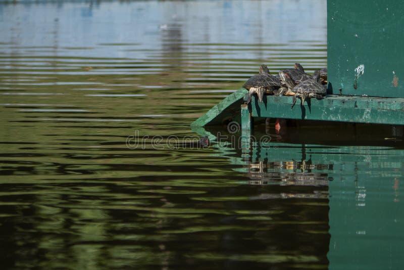 Черепахи загорая в середине пруда стоковое фото