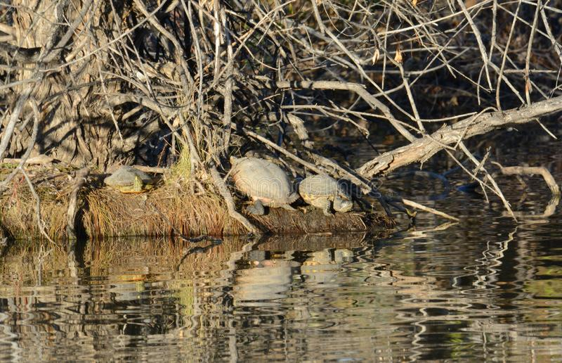 Черепахи загорая на береге острова стоковые фото