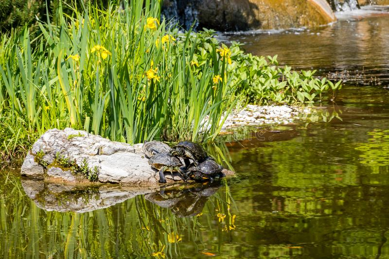 Черепахи загорая на утесе в парке стоковое фото rf