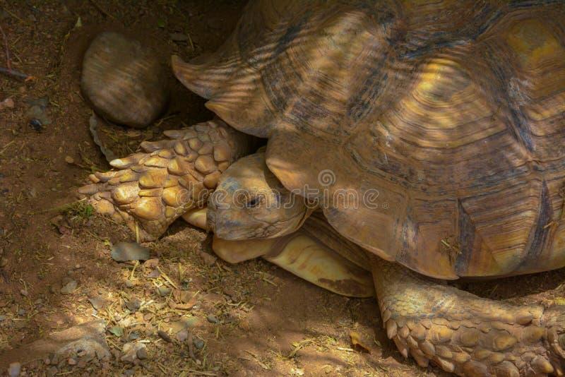 Черепахи закрывают вверх по съемке стоковые фотографии rf