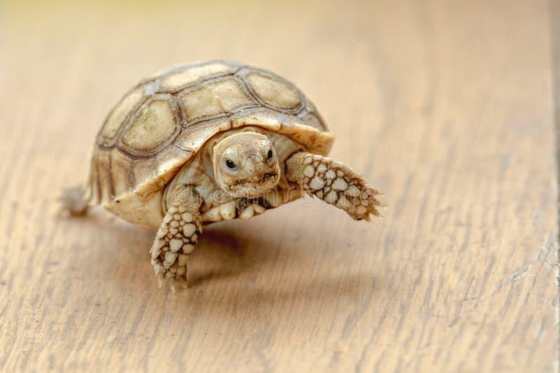 Черепахи, конец вверх по черепахе sulcata, младенцу пришпорили черепаху отдыхая в саде стоковые изображения rf