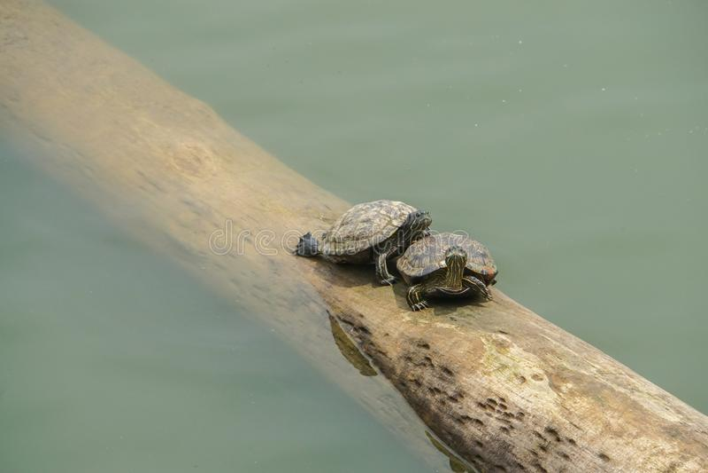 Черепахи на плавая имени пользователя река стоковая фотография