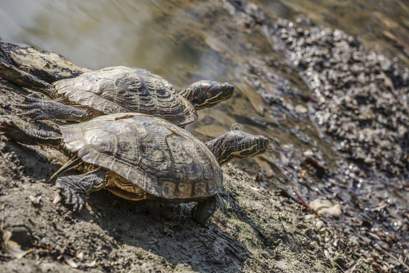 Черепахи озером стоковое изображение rf
